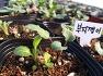 2020년 산채모종, 산나물모종,특용작물모종 분양합니다.