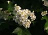 산사나무꽃(아가위)
